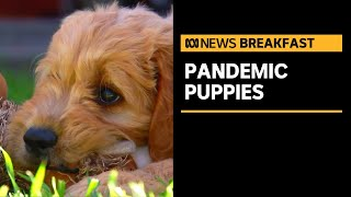 People paying oodles for designer puppies as demand surges during coronavirus pandemic   ABC News