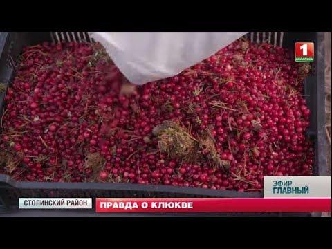 Правда о клюкве: как собирают красную ягоду на столинских болотах. Главный эфир