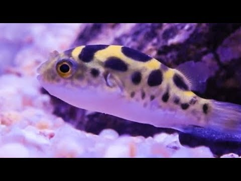 Puffer Fish Care & Tank Set Up Guide (Dichotomyctere Fluviatilis)