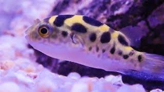 Puffer Fish Care & Tank Set up Guide (Dichotomyctere fluviatilis)