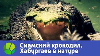 Камбоджа. В поисках сиамского крокодила - Хабургаев в натуре | Живая Планета