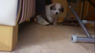 グレートピレニーズの仔犬を見せて頂きに、富士河口湖町の 『Twinkle St...