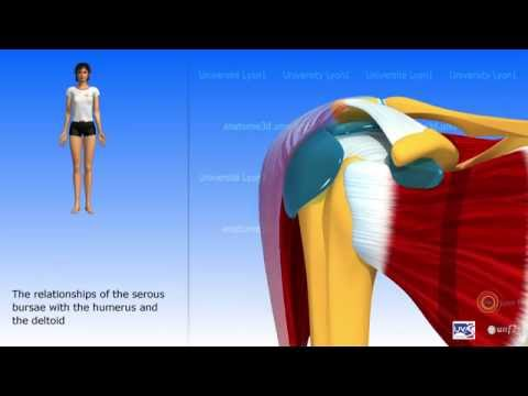 The subdeltoid joint and the serous bursae of the shoulder