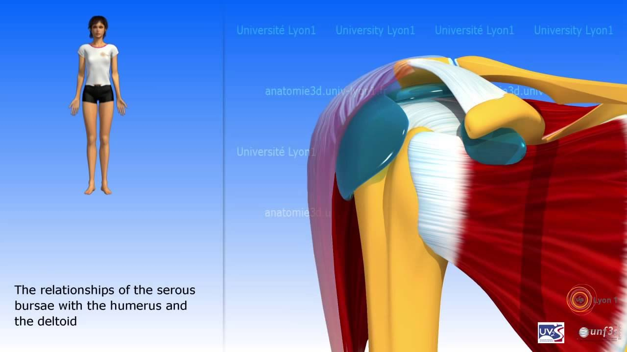 The Subdeltoid Joint And The Serous Bursae Of The Shoulder Youtube