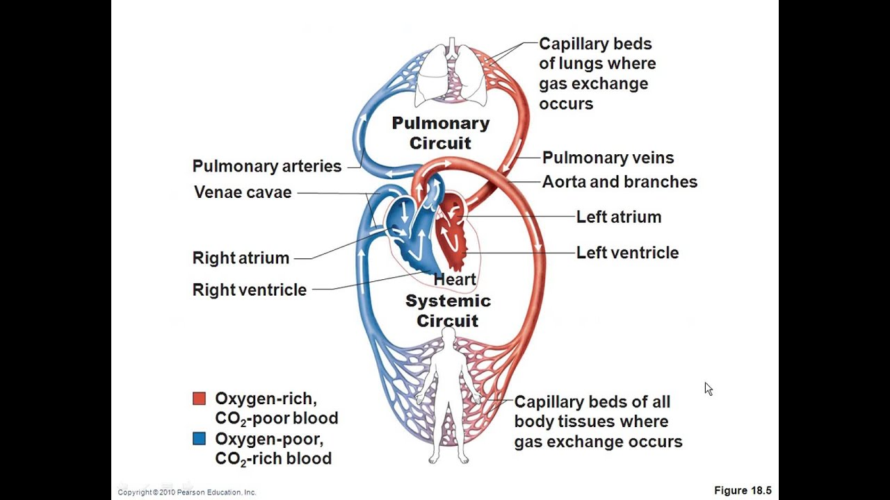 Chapter 18 Cardiovascular System Youtube