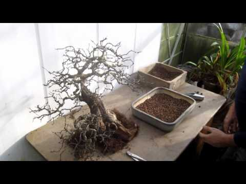 Changing the position of a Hawthorn Bonsai by repotting