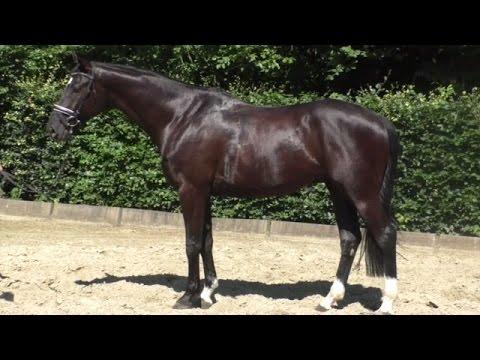 www.sporthorses-online.com 2010 Hanoverian black Hunter gelding heavy shoes