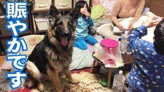 grandchild and German Shepherd dog ジャーマンシェパード犬マック君自...