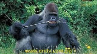 Gorilla Extinction