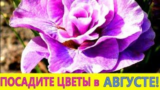 ПОСАДИТЕ эти ЦВЕТЫ  в САДУ в АВГУСТЕ-НЕ ПОЖАЛЕЕТЕ! Эти цветы морозостойкие и неприхотливые.