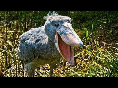 Зачем этой птице такой странный клюв? Самые причудливые клювы у птиц!