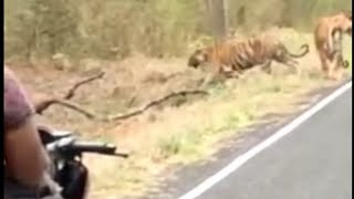 tiger's walking on roadfull vi…