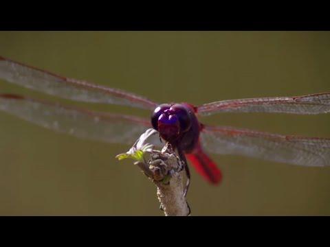 How Do Dragonflies See The World? - Animal Super Senses - BBC