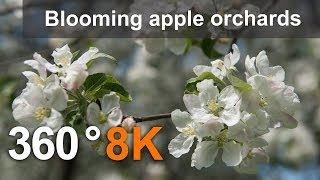 360°, Blooming apple orchards. Moscow, Kolomenskoye. 8K video thumbnail