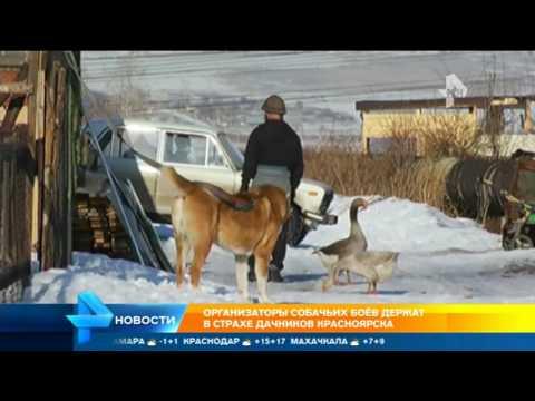 Бизнес на крови: организаторы собачьих боев держат в страхе дачников Красноярска