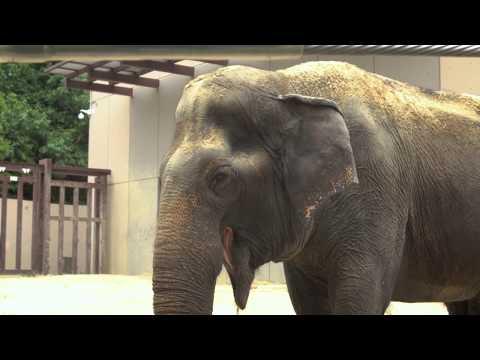 Meet Ambika - Asian Elephant