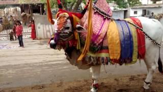 ongole bulls devotional game show on sankranti festival Gangireddulaata   Gangireddu Performance