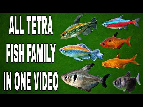 Types Of Tetra Fish