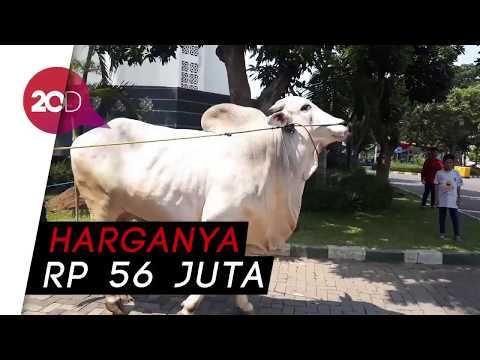Jokowi Kurban Sapi Kontes Di Surabaya