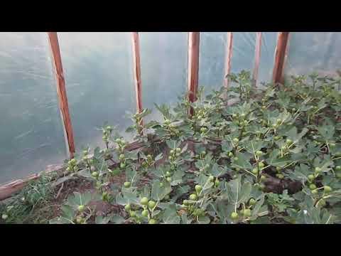 Инжир Муасон черный крымский - Экзотические растения
