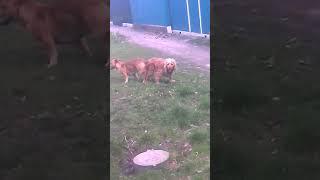 Собаки застряли вместе