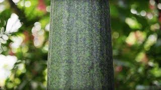 Titanwurz - Wie tarnt sich die grösste Blume der Welt?