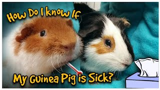 How Do I Know If My Guinea Pig Is Sick? | Nails & Piggy Smalls go to the Exotic Vet |