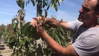 SUPER AWESOME WELL GROWN AVOCADO NURSERY TREES