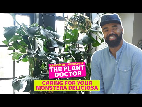 plant-#withme- -caring-for-your-monstera-deliciosa- -apartment-therapy
