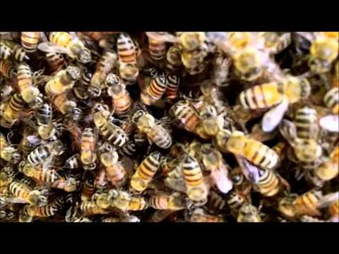 Wayne's Bee's Honey Bee Removal 7-16-2012 and 7-17-2012. Wellington, Florida