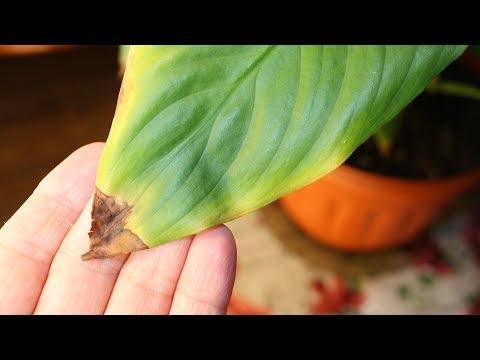 Сохнут кончики листьев. Как применять гидрогель для растений?
