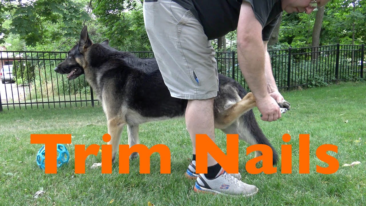 Trimming the nails of a german shepherd dog youtube trimming the nails of a german shepherd dog solutioingenieria Image collections