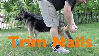 Trimming the Nails of a German Shepherd Dog