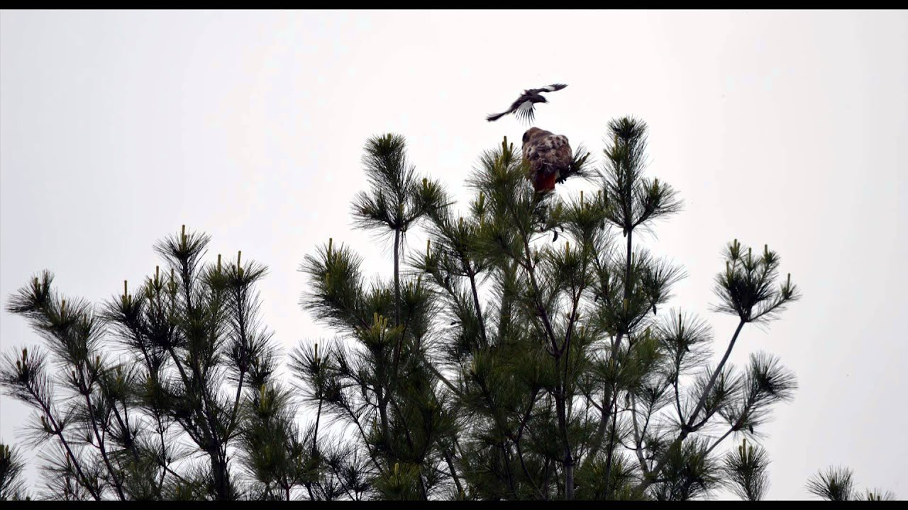 Hawk captures baby bird - listen to the sounds of the ...