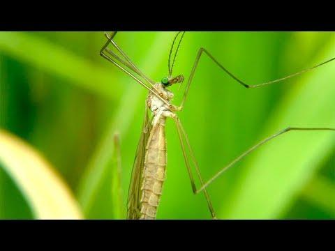 """Комар долгоножка или """"Малярийный комар"""" )) Crane Fly"""