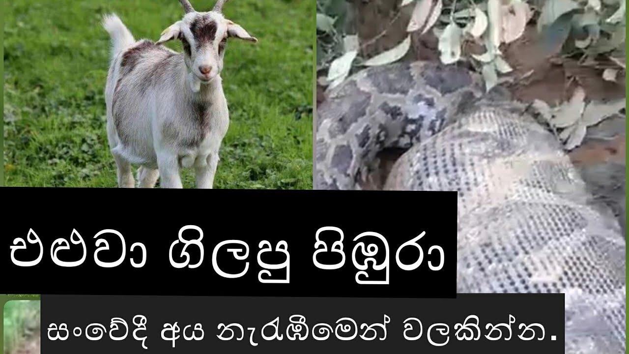 එළුවා ගිලපු පිඹුරා - eluwa gilapu pibura / Sri Lankan Animal life