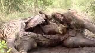 Repeat youtube video Video - Hyena eatting giraffe - ToxicJunction.com.flv