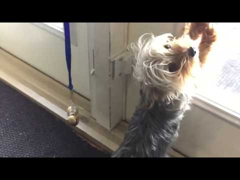Yorkshire Terrier Rings Bell To Go Outside