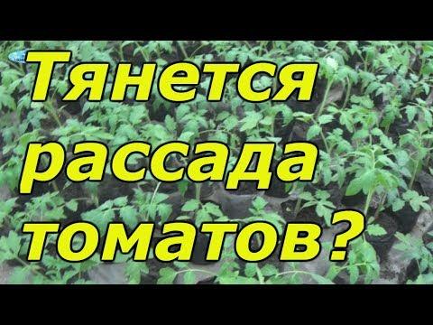 Рассада томатов вытягивается? Как это можно остановить. | вытягивание | остановить | потянутая | стабилан | рассады | рассада | как