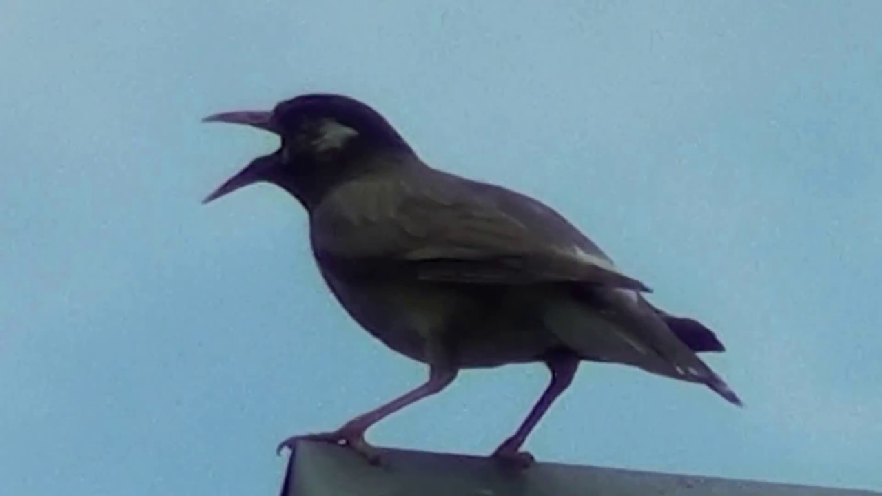 鳴く 鳥 ギーギー