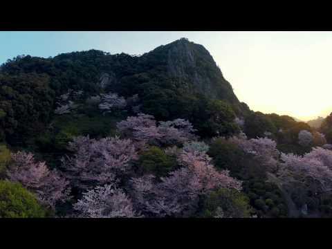 九州最大の『桜のライトアップ』開催中(佐賀県武雄市:御船山楽園)