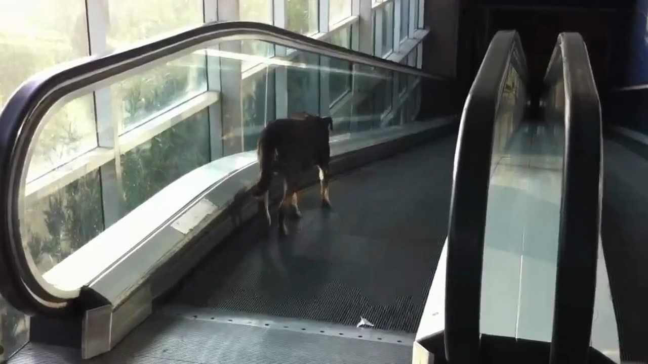 Perro Bajando Las Escaleras Electricas Fail Youtube