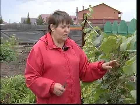 Виноград растет в Сибири