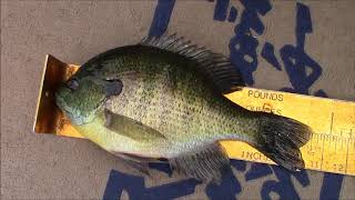 BIGGEST Bluegills Ever! Fishing with the Old Man Part 2