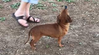 Lilly Rose, dachshund