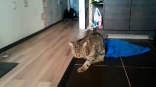 Кот после кастрации, первый час!