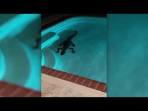 Deuce - Port Charlotte, Florida... 7 Foot Gator Found In Pool