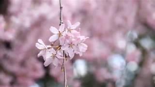 【4K】春の京都 2019 3 31 Cherryblossom in Kyoto