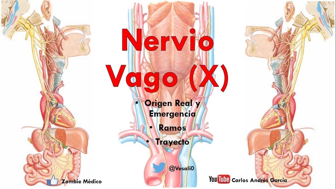 Anatomía - Nervio Vago (Origen Real Aparente Trayecto, Ramos ...