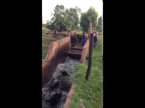 Cattle dipping in Swaziland